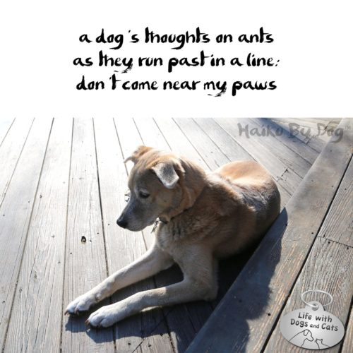 #HaikuByDog a dog's thoughts on ants / as they run past in a line: / don't come near my paws