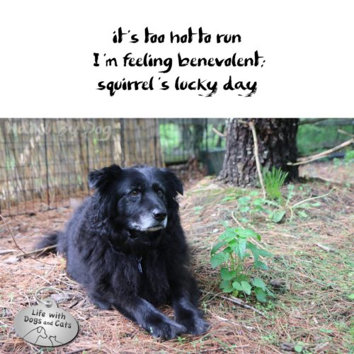it's too hot to run / I'm feeling benevolent / squirrel's lucky day #HaikuByDog #HaikusDay