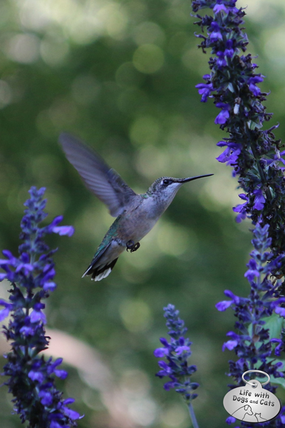 Hummingbird feeding from salvia