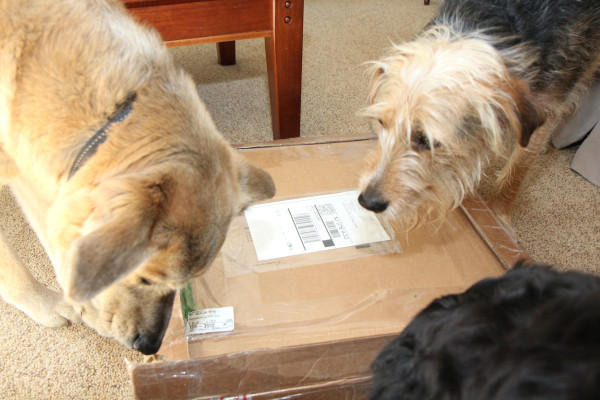Three dogs want to know what's inside the box.