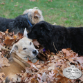 Jasper Lilah Tucker dogs playing in leaf pile