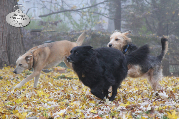 The dogs of Life with Dogs and Cats -- Jasper, Lilah, and Tucker -- run through the fall leaves