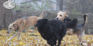 Photo: Three dogs running through fall leaves