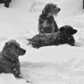 Three dogs laying in the snow, oblivious to the snow falling