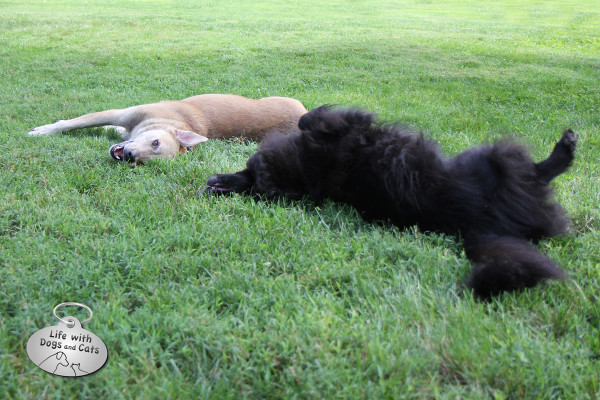 Jasper and Lilah enjoying a great roll in the grass.