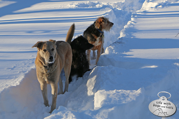 Jasper, Lilah and Tucker using a snow path after the blizzard