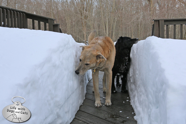 Jasper and Lilah walk through the deep path on the deck.