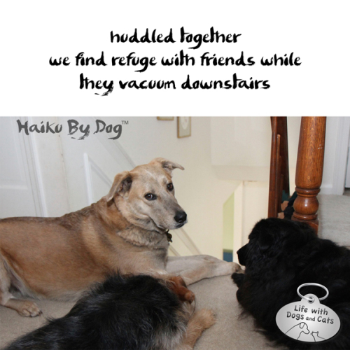 Haiku by Dog: huddled together / we find refuge with friends, while / they vacuum downstairs
