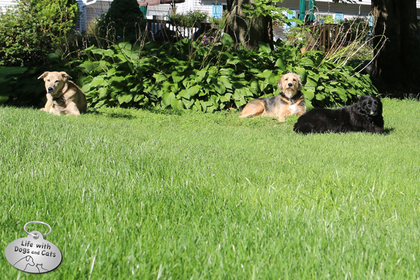 Jasper, Tucker and Lilah catch some rays in the backyard.
