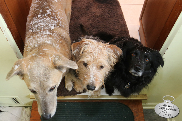 After they came inside, all three dogs were still decorated with snow.