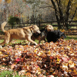 Photo: Jasper, Lilah and Tucker playing in a leaf pile