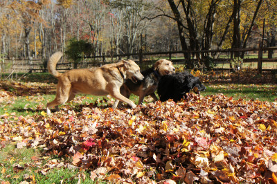 Three dogs playing in the leaves