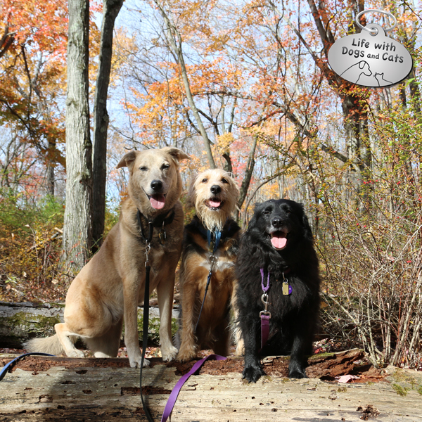 One last stop to pose on a log. What good doggies!