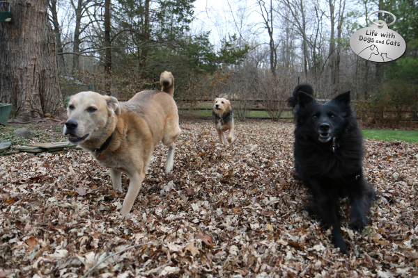 Jasper, Tucker and Lilah, the dogs from Life with Dogs and Cats, help with clean up the fall leaves.