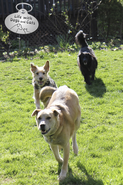 Jasper, Tucker, and Lilah come running when I call. As it should be.