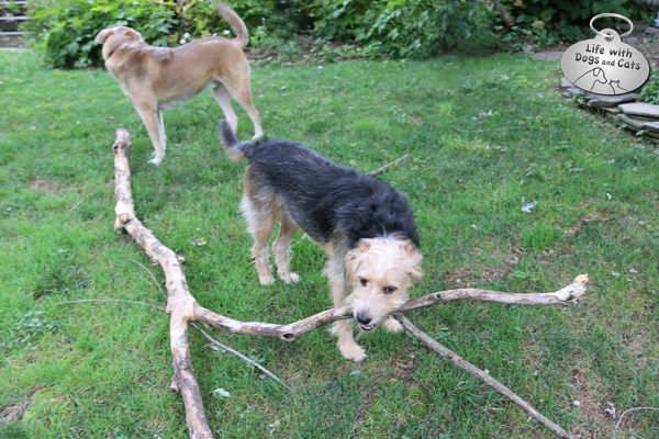 Tucker the dog finds a Very Big Stick