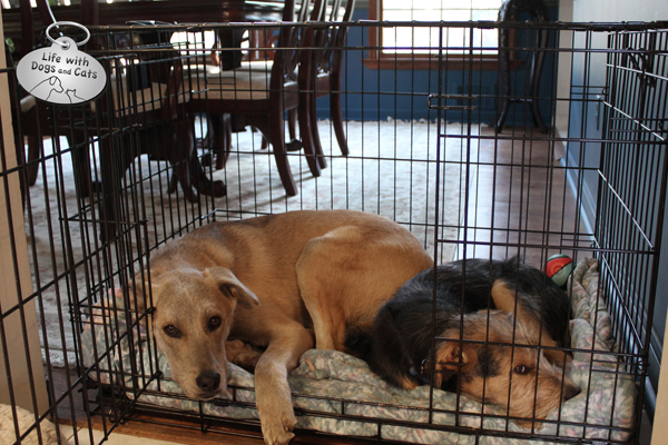 Jasper and Tucker relax together in the crate