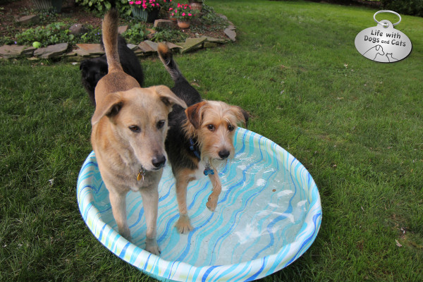 Two dogs--Jasper and Tucker--stand reluctantly in the kiddie pool. They don't like getting their feet wet.