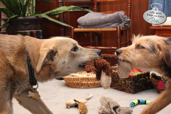 Jasper and Tucker play tug with an ex-monkey.