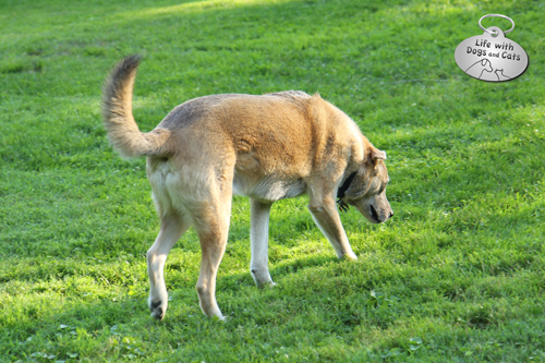 Jasper, low maintenance comfort  hound