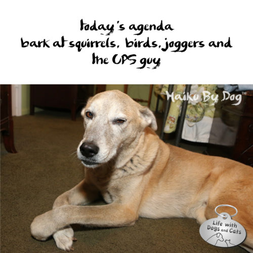 today's agenda / bark at squirrels, birds, joggers and / the UPS guy #haikubydog