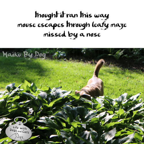 Haiku by Dog: thought it ran this way / mouse escapes through leafy maze / missed by a nose