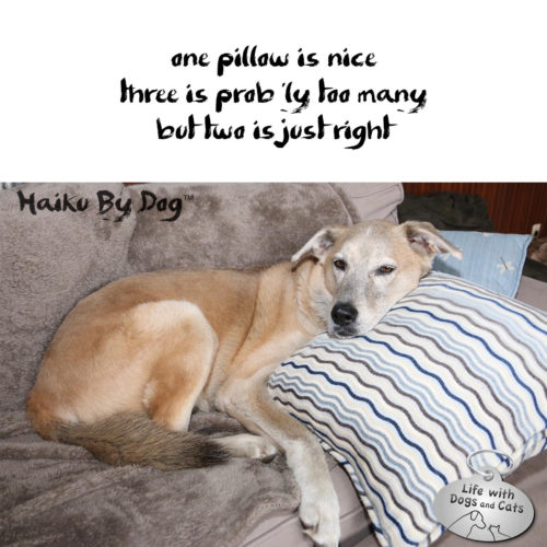 one pillow is nice / three is probably too many / but two is just right #HaikuByDog #HaikusDay #MicroPoetry #Dog