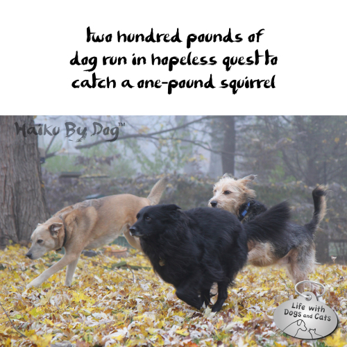 Haiku by Dog: two hundred pounds of / dog run in hopeless quest to / catch a one-pound squirrel