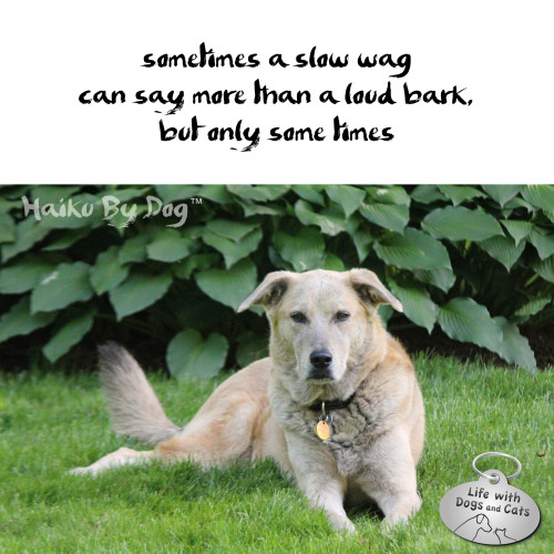 Haiku by Dog: sometimes a slow wag can say more than a loud bark,  but only some times