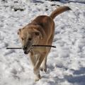 Jasper runs with his favorite stick.