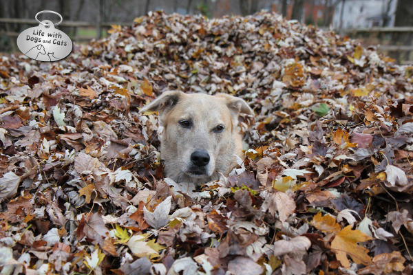 Jasper head in leaf pile