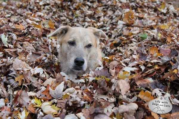 Jasper from Life with Dogs and Cats loves to play in a pile of leaves.