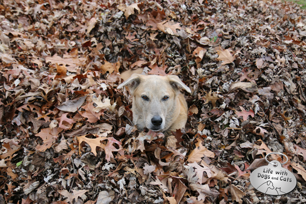 Jasper dog in fall leaves