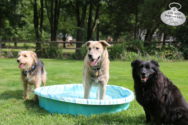 Jasper in the pool, with Tucker and Lilah nearby