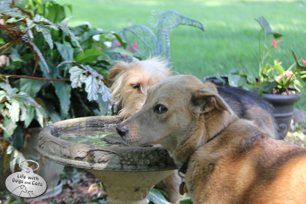 Two dogs at a birdbath