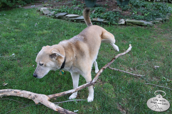 Jasper the dog claims the branch as his own.