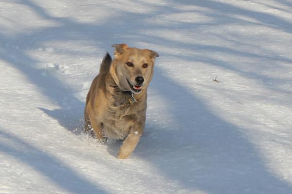 Dog runs through deep snow