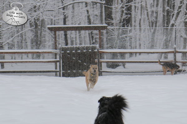 Jasper runs toward Lilah, with Tucker in the background, during our recent snowfall.