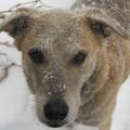 Snowy dog