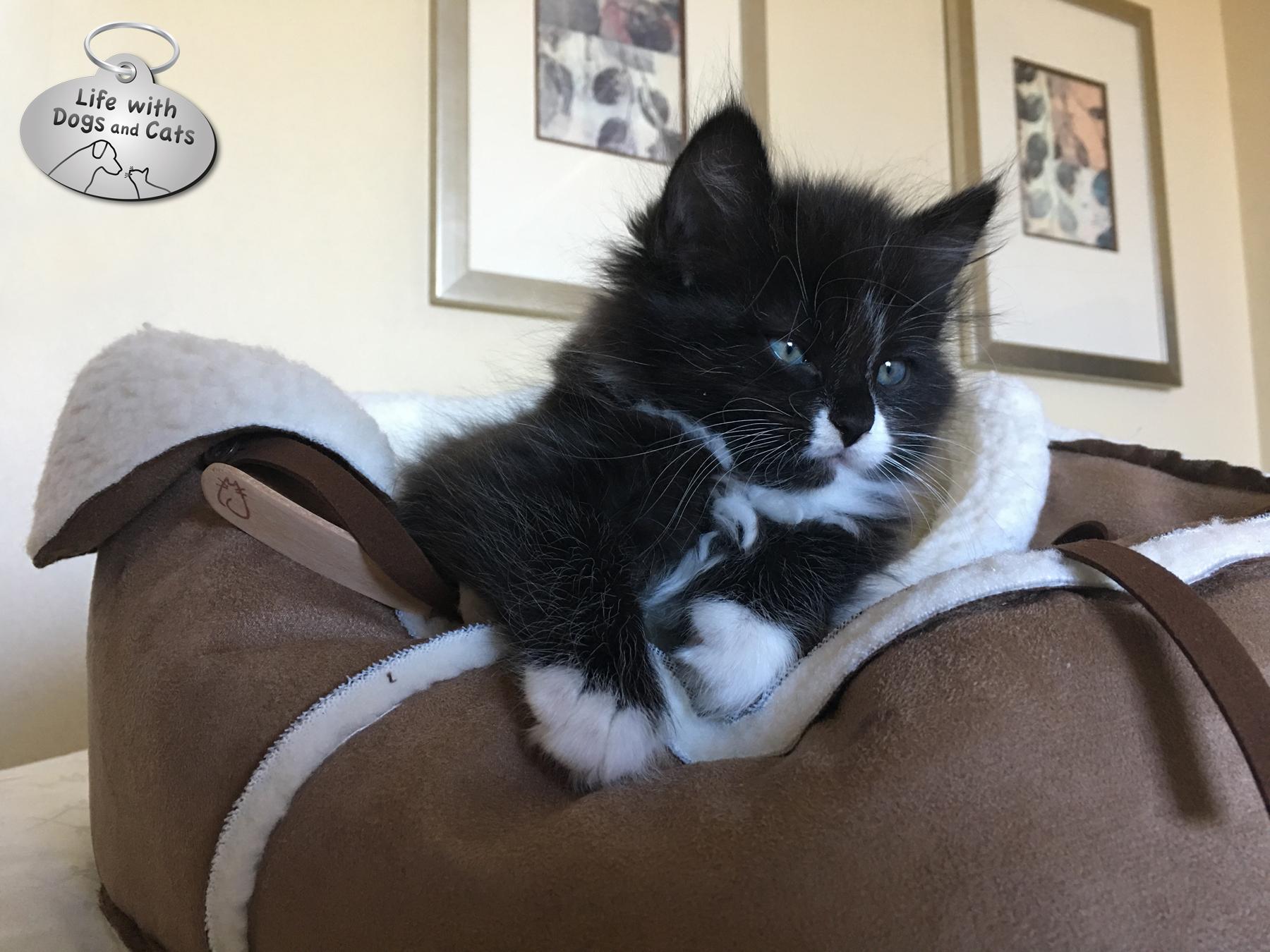 Kitten Jo Jo Armani Hauspanther moccasin