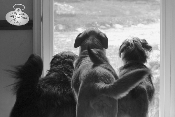 Three dogs at the door, ready to welcome visitors