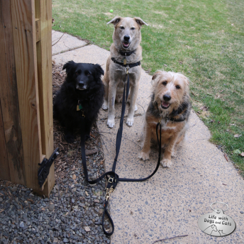 Lilah, Jasper and Tucker ready for their walking practice.