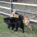 Three dogs running along the fence