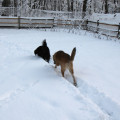 Two dogs following a trail through the snow