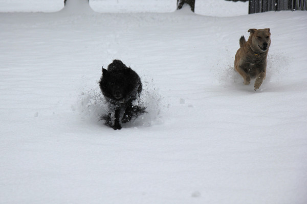 Two dogs bounding through the snow.