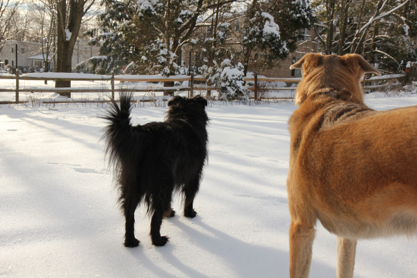 Two dogs standing on frozen snow