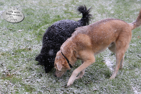 Lilah and Jasper sniffing an exciting scent in the first snowfall of the winter.