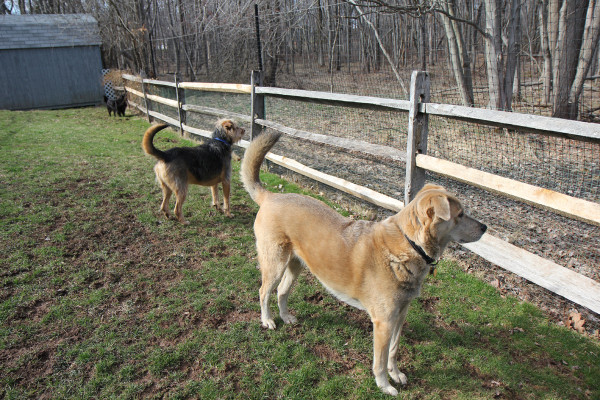 Three dogs standing guard by fence