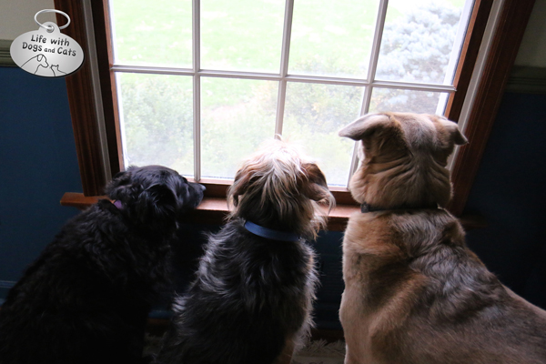 Lilah,Tucker and Jasper wait at the window.