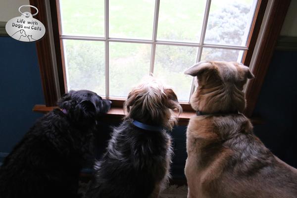Lilah,Tucker and Jasper wait at the window.